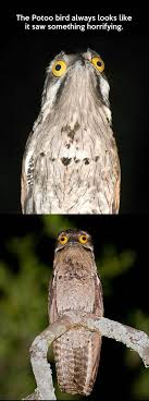 Potoo Bird Meme - the potoo bird looks like it s seen some horrible things beheading