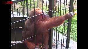 ghetto monkey eating bananas funny voiceover youtube