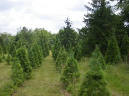 pinetop farm christmas trees and blueberries
