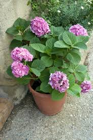 can hydrangeas grow in pots learn about container grown hydrangea