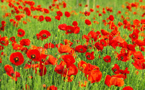 poppies flowers poppies flowers 013