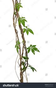 wild morning glory vine leaves climbing stock photo 598039916