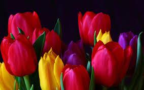 wallpaper bunga tulip bunga tulip flower wallpaper