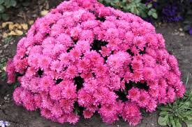 wallpapers pink color mums flowers many shrubs