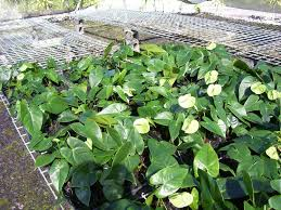 plants native to hawaii anthuriums how to care for anthurium flowers
