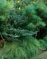 Us Zones For Gardening - conifers for shade fine gardening