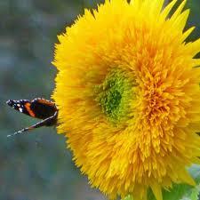 teddy sunflowers teddy sunflower seeds terroir seeds