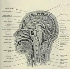 Neck Cross Sectional Anatomy Cross Section Head Human Anatomy Human Anatomy Chart