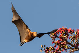 mammiferi volanti salviamo i fruit bats le volpi volanti wwf italy