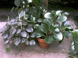 foliage houseplants the reliable favorites