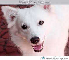 american eskimo dog vancouver these are my dogs luca left and luna right i have always