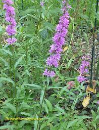 mystery milkweed impostors plant identification help