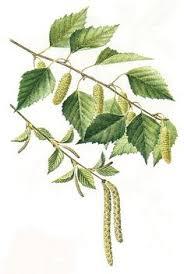 vintage tree print silver birch botanical book plate 61
