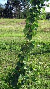 fluke brewing minnesota homebrewing hop growing diy projects