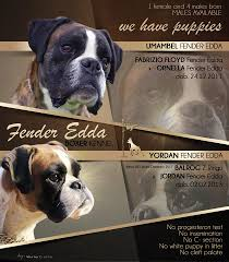 boxer dog york boxer puppies for sale home facebook