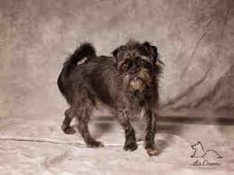 affenpinscher terrier mix view ad affengriffon mix dog for adoption utah salt lake city usa