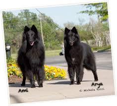 belgian sheepdog club of america national specialty e litter