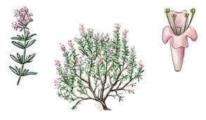 fleur de thym cuisine encyclopédie larousse en ligne thym
