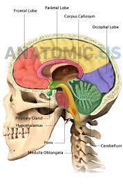 brain anatomy coloring book 9 best anatomy flashcards images on pinterest anatomy brain