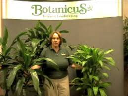 prune this how to care for and prune the dracaena family commonly