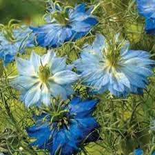 28 best niebieskie kwiaty images on pinterest blue flowers