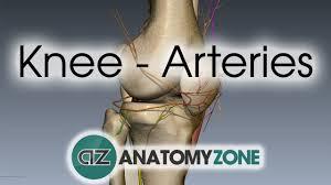 Interactive Knee Anatomy Knee Arteries 3d Anatomy Tutorial Youtube