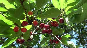 Colour Combination With Green Close Up Of Ripe Red Fresh Cherries Hanging In Tree Branch Fruit