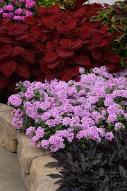 verbena flower verbena endurascape pink bicolor all america selections