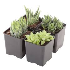 succelents costa farms small succulents haworthia assorted in 2 5 in grower