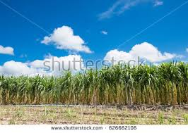 sugar cane farm stock images royalty free images u0026 vectors