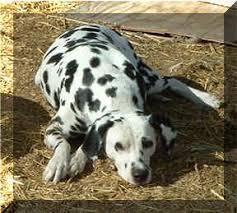 b6dr akc dalmatians