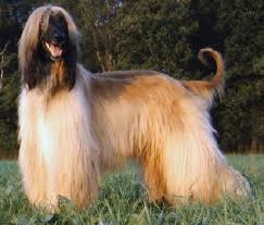 afghan hound good and bad afghan hound simple english wikipedia the free encyclopedia