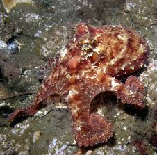 Octopus Home East Pacific Red Octopus Wikipedia