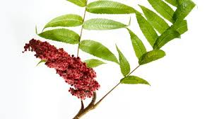 plants native to russia the wild farm producing local sumac spices by tama matsuoka wong