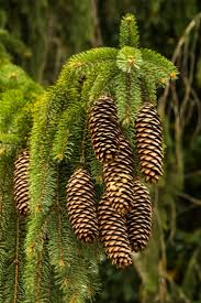 78 best nature pine cones images on pinterest pine cones