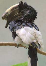 Black-and-white-casqued hornbill