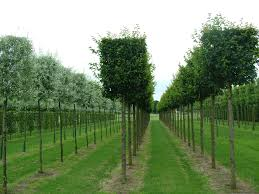 instant hedges suppliers and growers of semi and