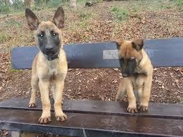belgian shepherd malinois temperament belgian shepherd malinois pet only family dog ilfracombe