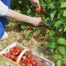 strawberry cambridge favourite mid season