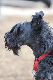 brushing a bedlington terrier what can you learn from a pet groomer u2013 casey kerries from the