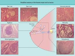 Female Breast Anatomy And Physiology Figure 2 Simplified Anatomy Of The Female Breast Illustrating The