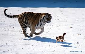 siberian tigers seen during rewilding in ne china s