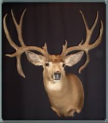 deer head deer heads and mounts for retail sale montana taxidermy and