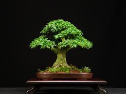 privet bonsai trees