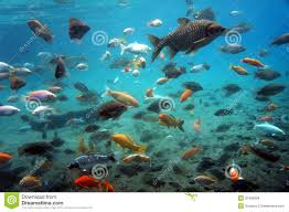 Freshwater Fish Freshwater Fish Stock Photo Image Of Java Central Klaten 37490304