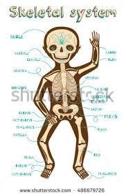 Female Anatomy Diagram For Kids Skeletal System Stock Images Royalty Free Images U0026 Vectors
