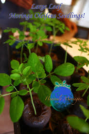 wholesale bulk moringa trees buy sacramento moringa trees