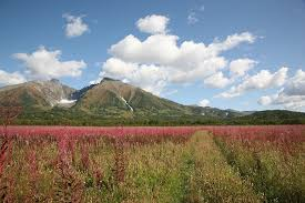 volcano flowers free photo grass flowers tundra mountains volcano fireweed max pixel