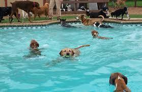 affenpinscher swimming top 10 swimmer dog breeds inside dogs world