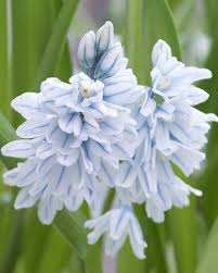 24 best bulbs images on pinterest flowers bulbs and perennials